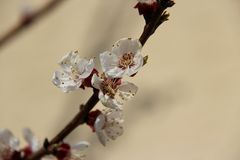 Blüten des Marillenbaums
