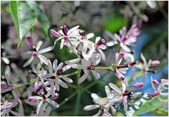 Blüten des persischen Flieders