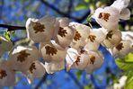 Blüten des Schneeglöckchenbaumes (mit Spinnen)