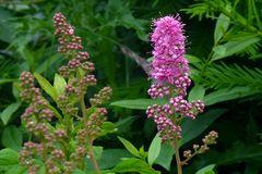 Blüten des Spierstrauches