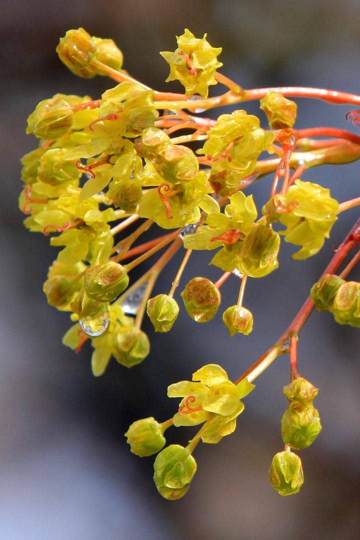 Blüten des Spitzahorn nach dem Regen...