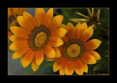 Blüten-Duo