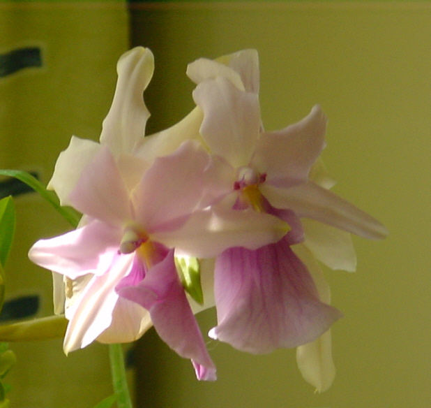 Blüten einer Miltonia
