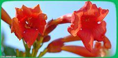 Blüten eines  Busch  ..