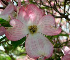 Blüten-Hartriegel II