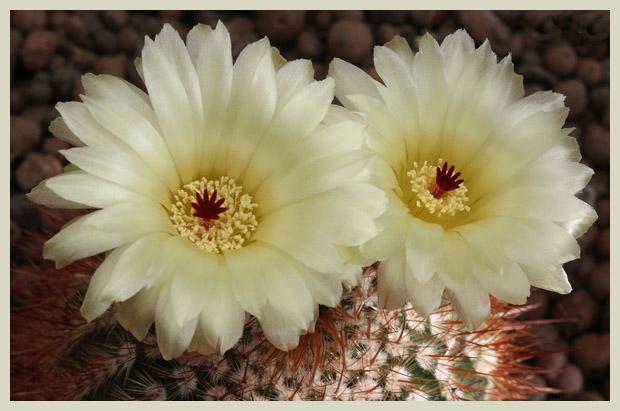 Blüten im Doppelpack