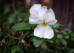 Blüten im Februar - Hornveilchen