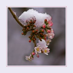 *** Blüten im Schnee ***