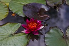 Blüten im Seerosenteich mit schwarzem Blatt