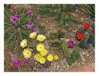 Blüten in den diversen farben bei den kakteen - einfach schön zum ansehen  in
