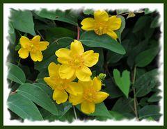 Blüten in der Hecke