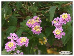 Blüten in pink im Britzer Garten-Berlin