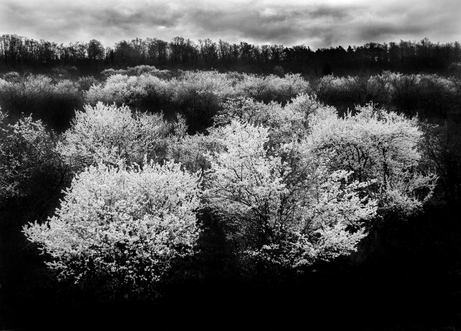 Blüten in Schwarz Weiss