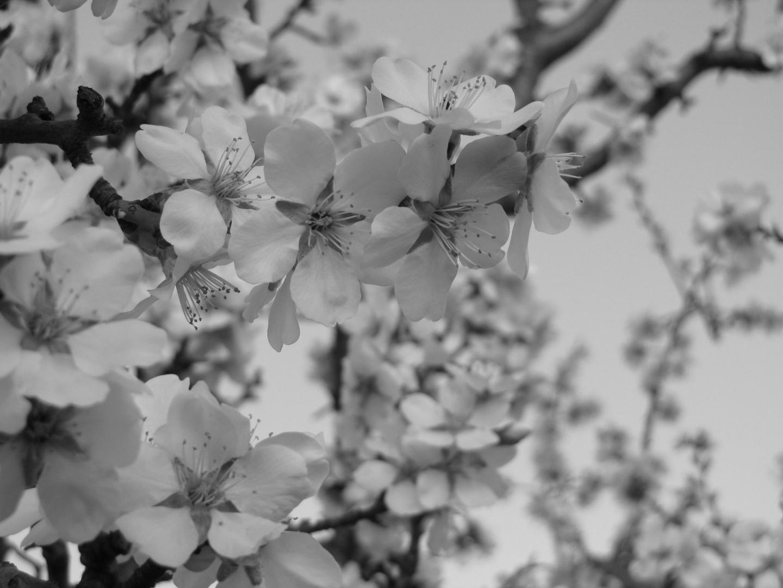 Blüten in schwarz/weiß