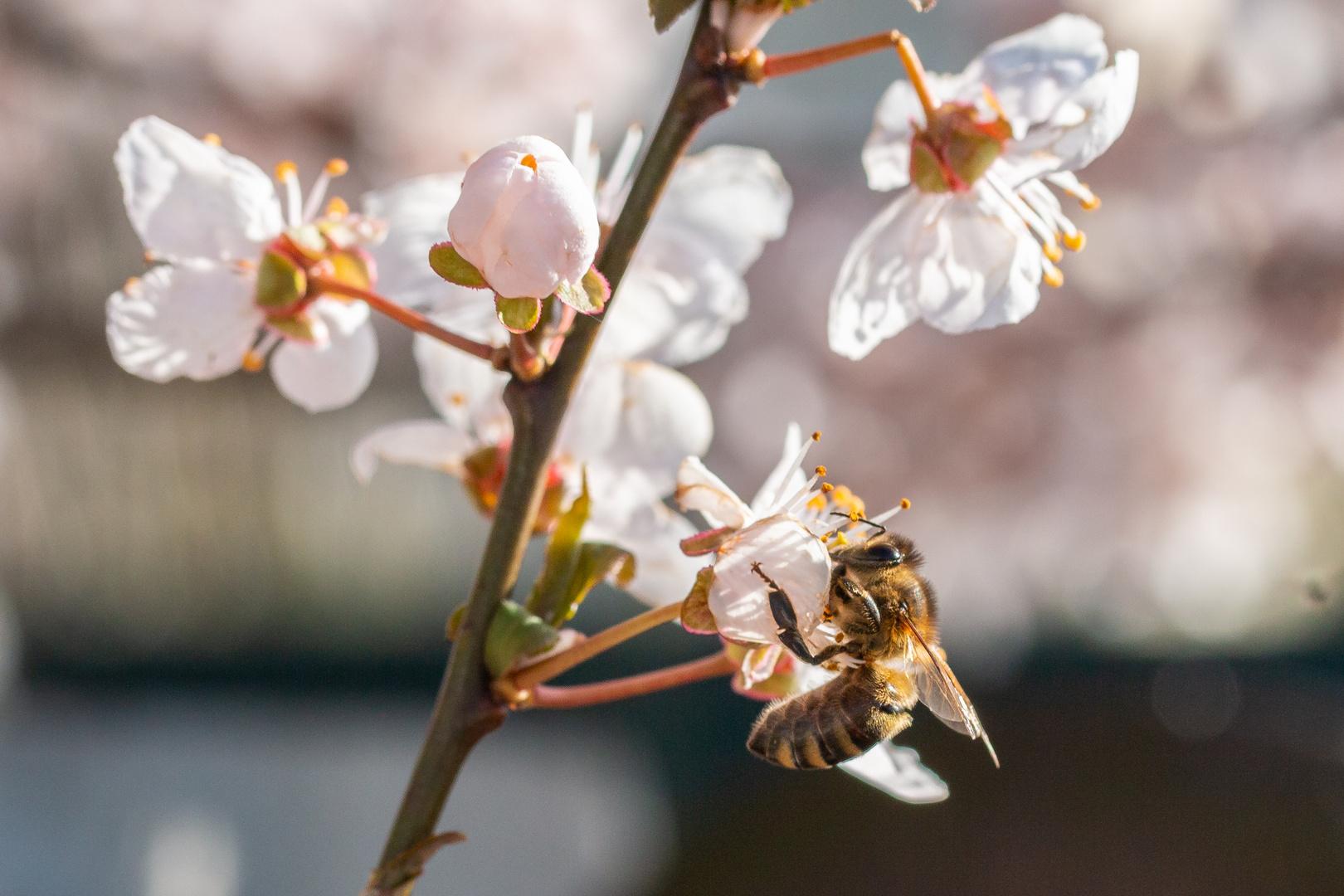 Blüten mit Biene 1