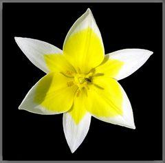 Blüten-Stern