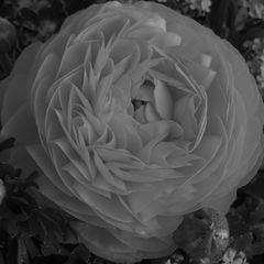 Blüten SW / Ranunkel SW