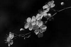 Blüten SW / Wilde Pflaumen
