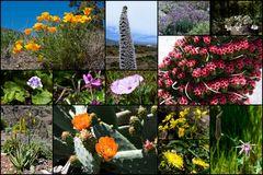 Blüten Teneriffas