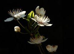Blüten un Knospen