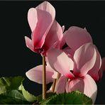 Blüten und Lyrik - rosa Alpenveilchen