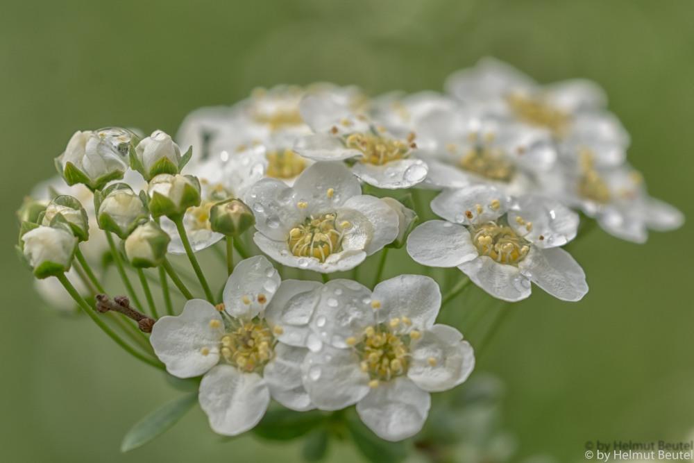 Blüten vollgelaufen
