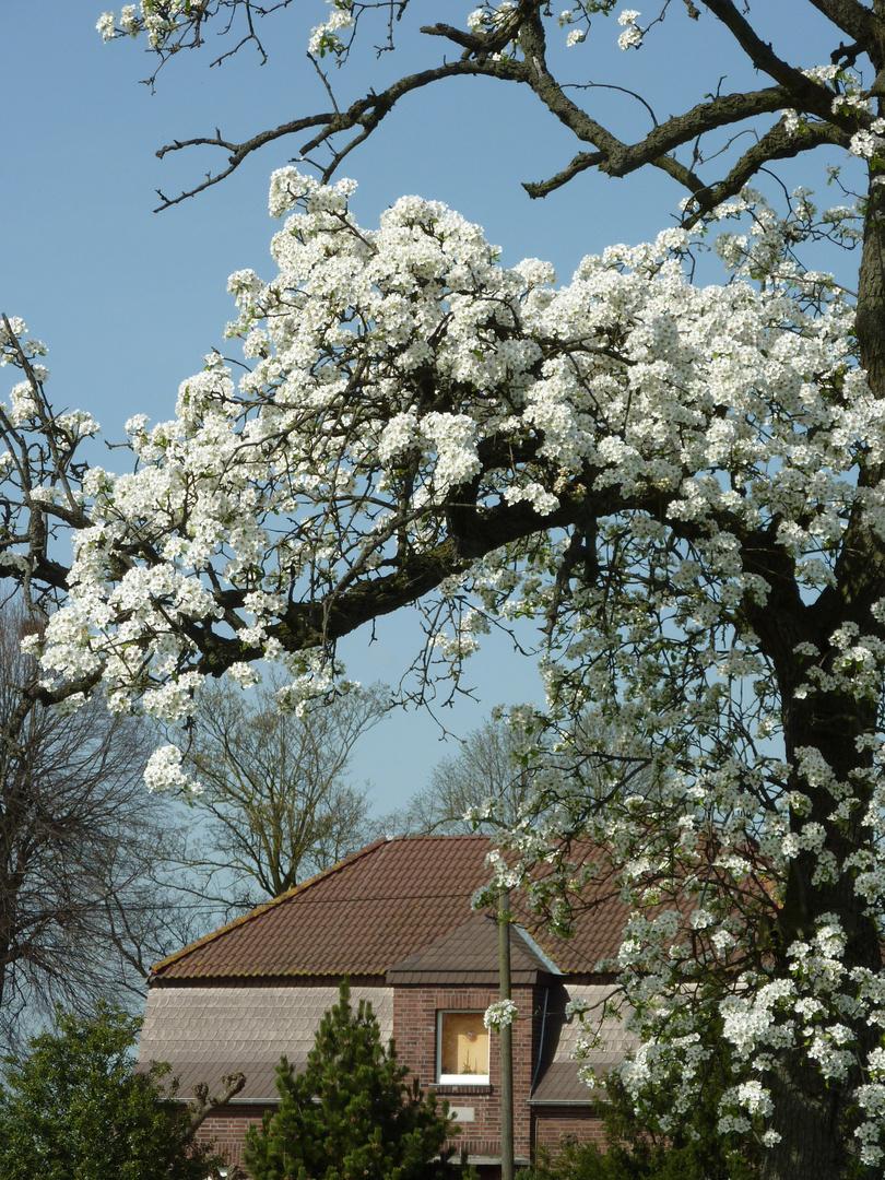 Blüten vom Birnenbaum 1.