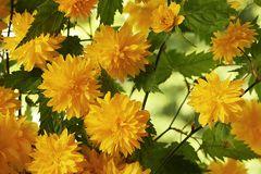 Blüten vom Ranunkel-Strauch