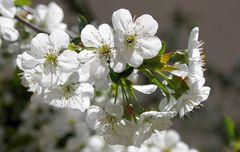 blüten-weiß