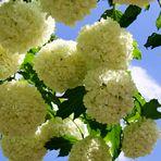 Blüten weiß wie Schnee...