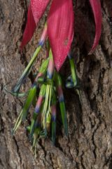 Blüten zu Weihnachten-Teneriffa 10
