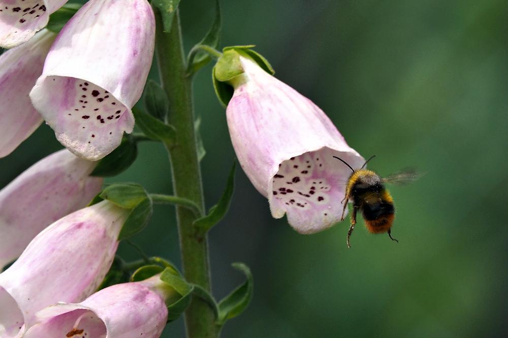 Blütenanflug