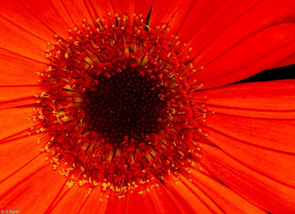 Blütenauge - Gerbera (2)