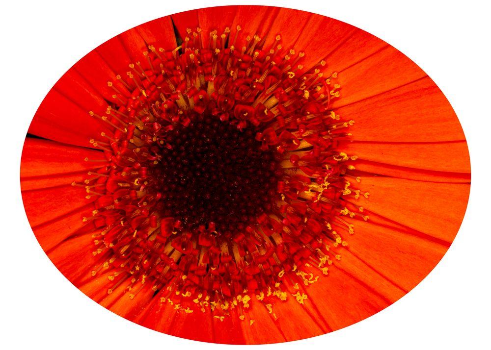 Blütenauge - Gerbera (3)