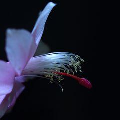 Blütendetail vom Weihnachtskaktus