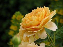 Blütenduett