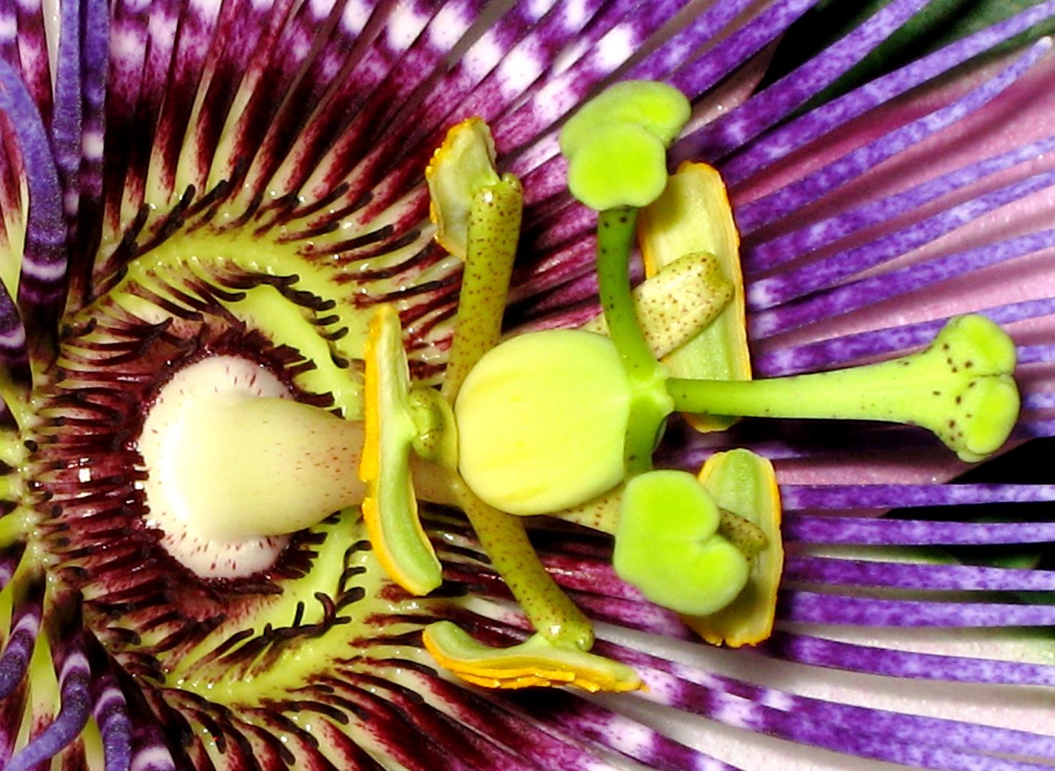 Blütenhärchen der Passionsblume