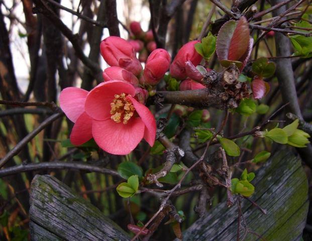 Blütenhecke am Morgen