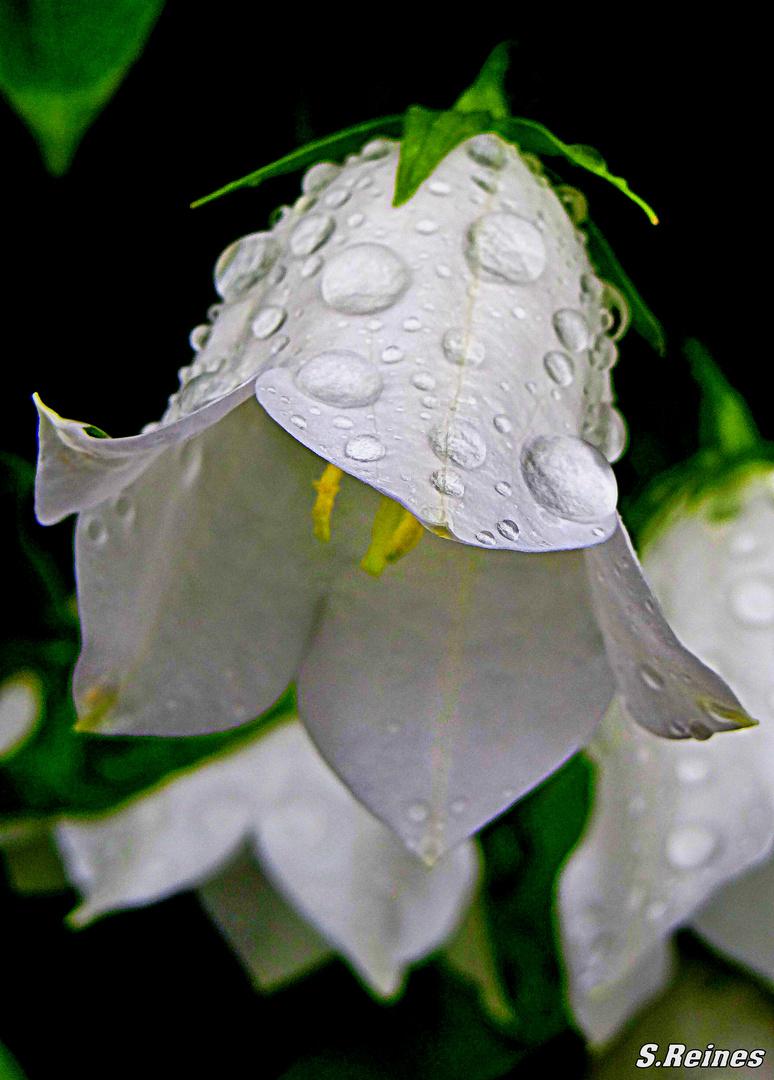 Blütenkelch im Sommerregen