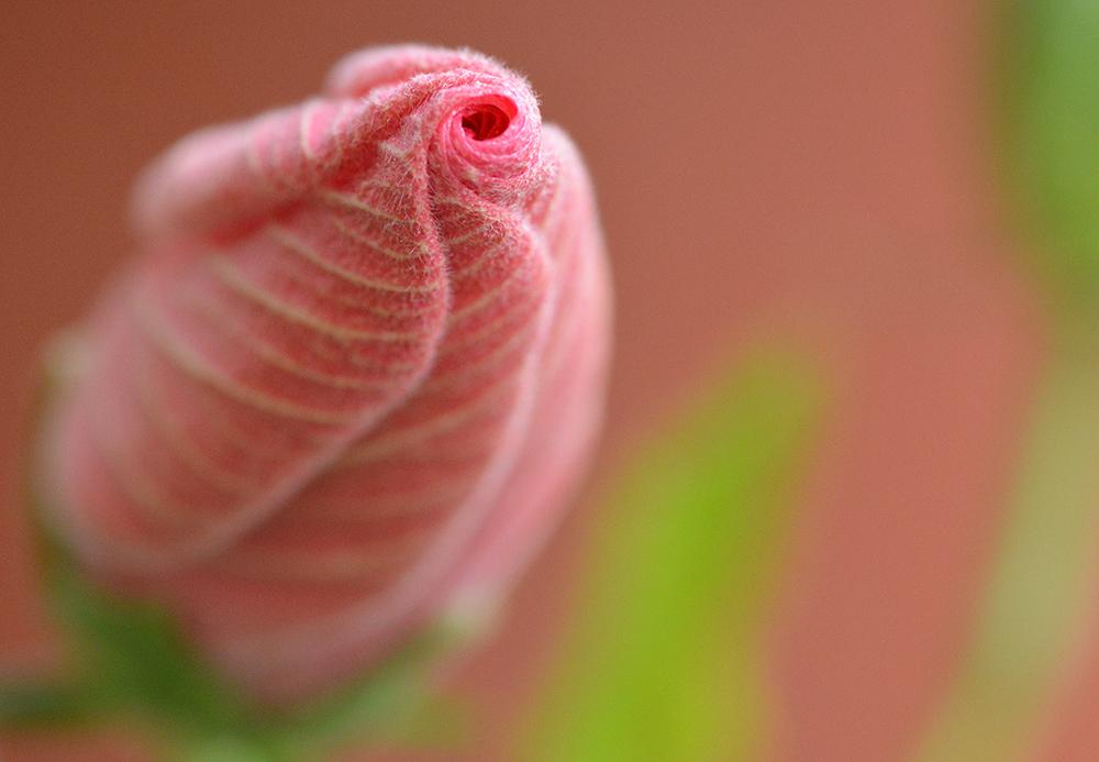 Blütenknospe Hibiskus