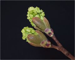 Blütenknospen eines Ahornbaums