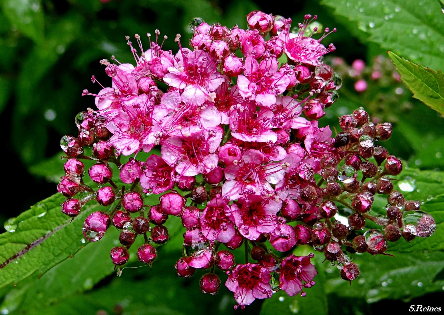 Blütenknospen im Sommerregen