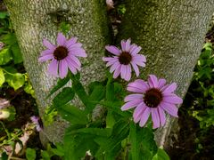 Blütenlachen