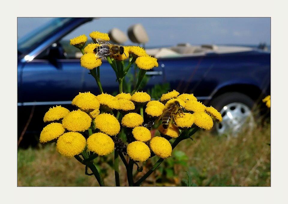 Blütenmakro mit Schwebefliegen...