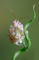 Blütenmantis