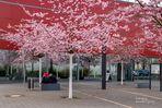 Blütenmeer am Stadtbad
