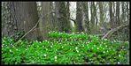 Blütenmeer eines Waldelfen