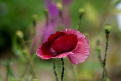 Blütenmohn