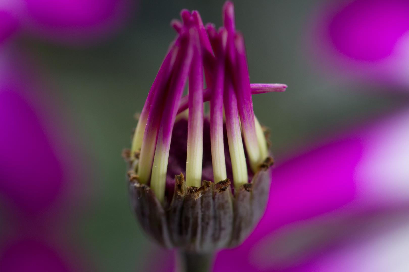 Blütenöffnung