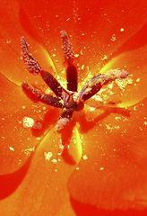 Blütenpollen einer Tulpe